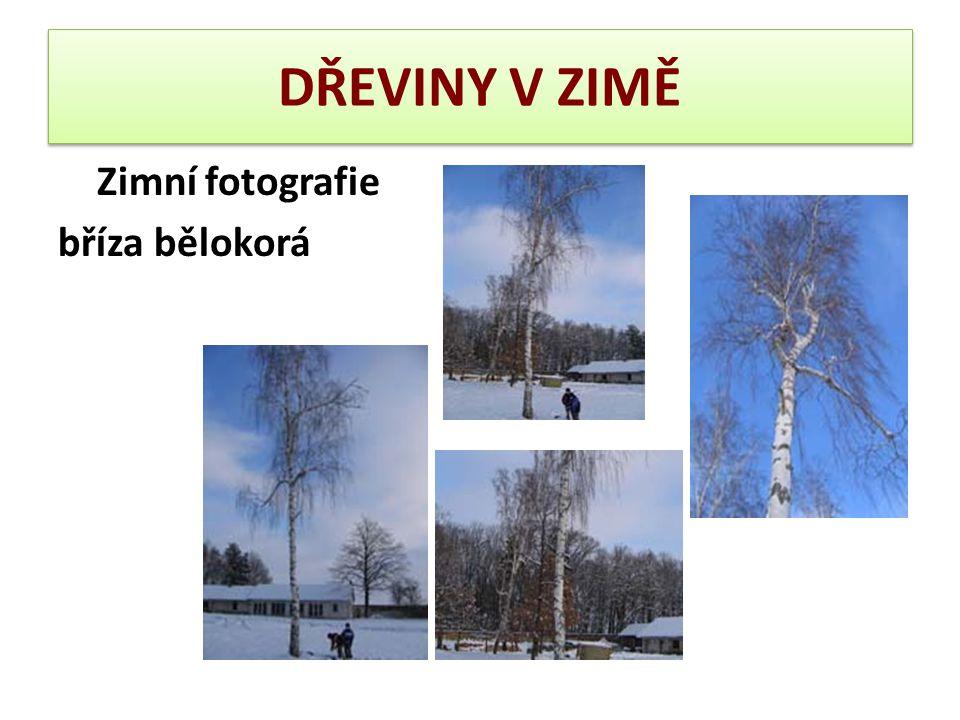 DŘEVINY V ZIMĚ Zimní fotografie bříza bělokorá