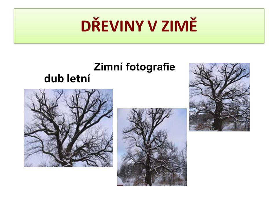DŘEVINY V ZIMĚ Zimní fotografie dub letní