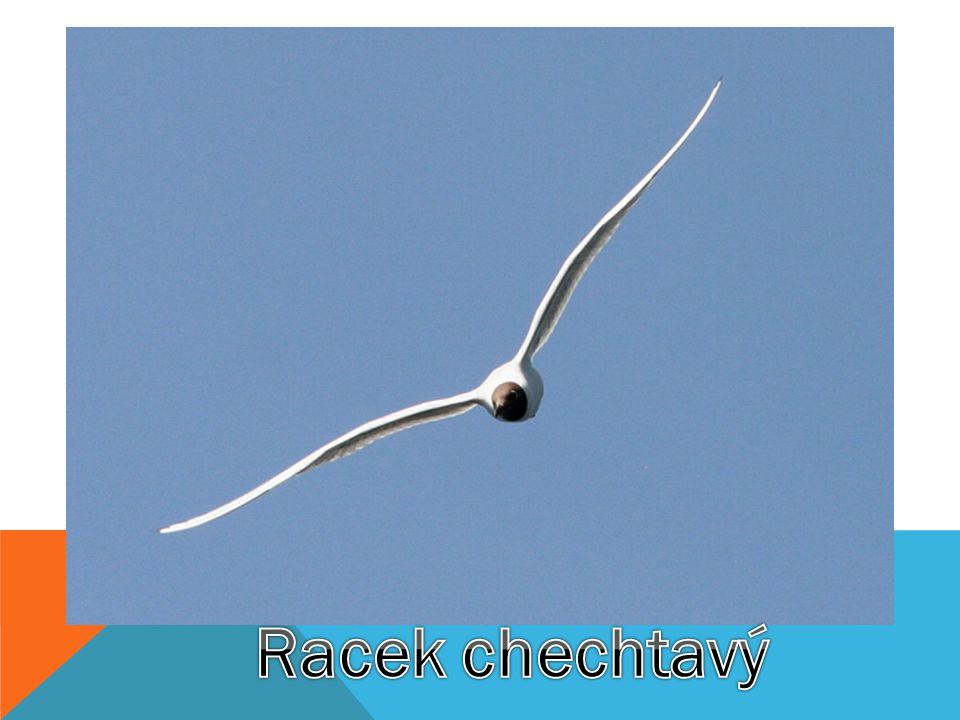 Racek chechtavý