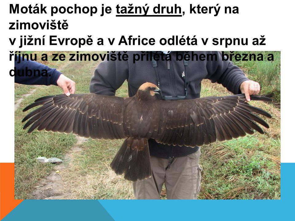 Moták pochop je tažný druh, který na zimoviště v jižní Evropě a v Africe odlétá v srpnu až říjnu a ze zimoviště přilétá během března a dubna.