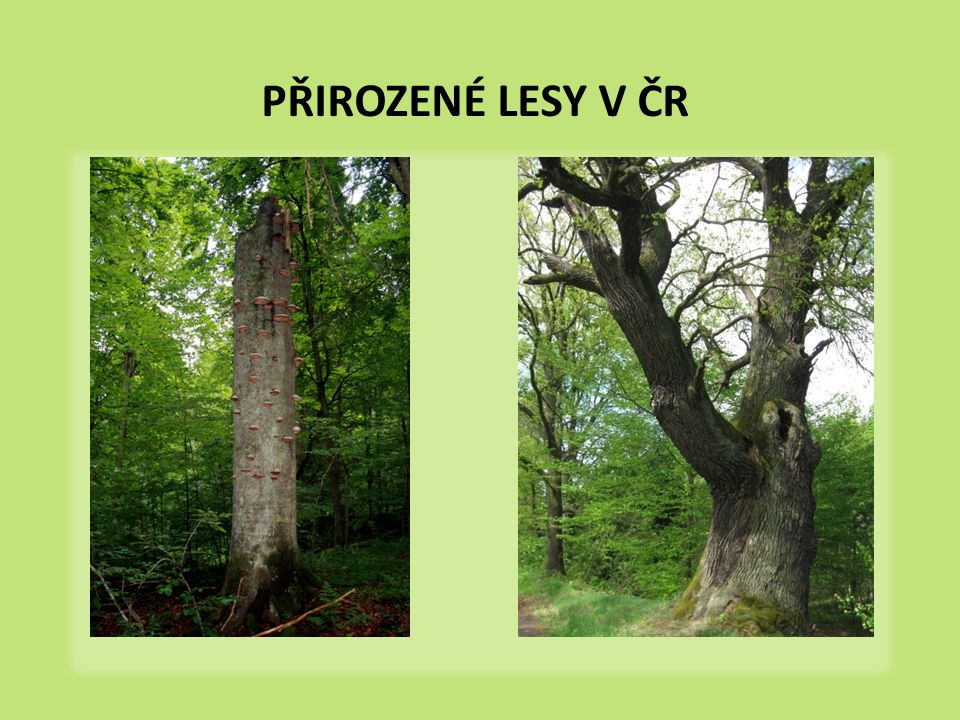 PŘIROZENÉ LESY V ČR