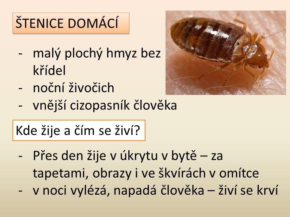ŠTENICE DOMÁCÍ malý plochý hmyz bez křídel. noční živočich. vnější cizopasník člověka. Kde žije a čím se živí