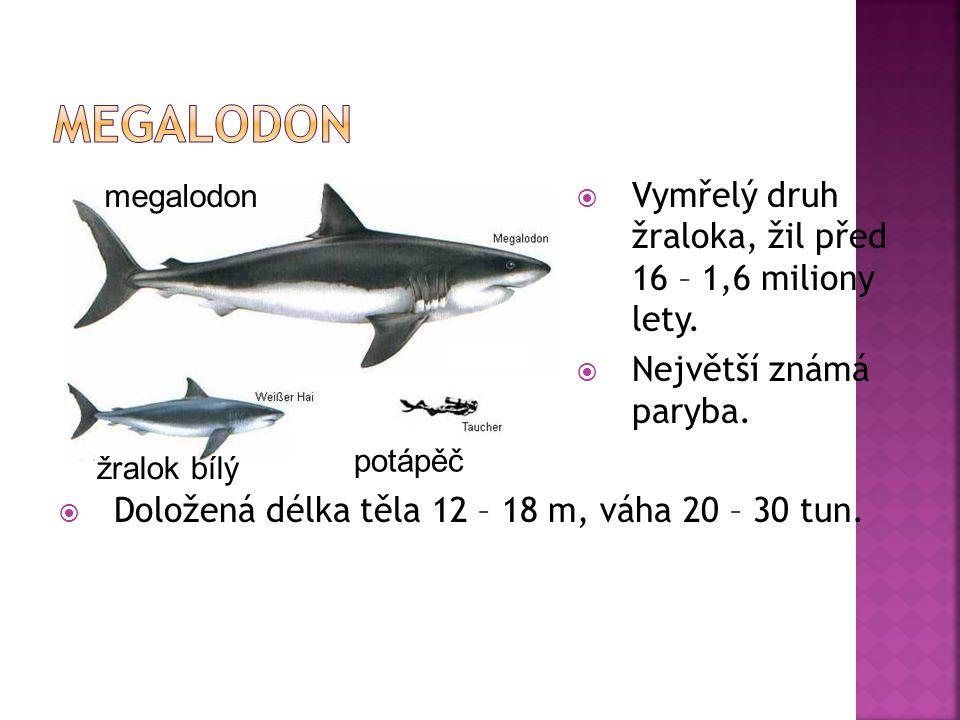 Megalodon Vymřelý druh žraloka, žil před 16 – 1,6 miliony lety.