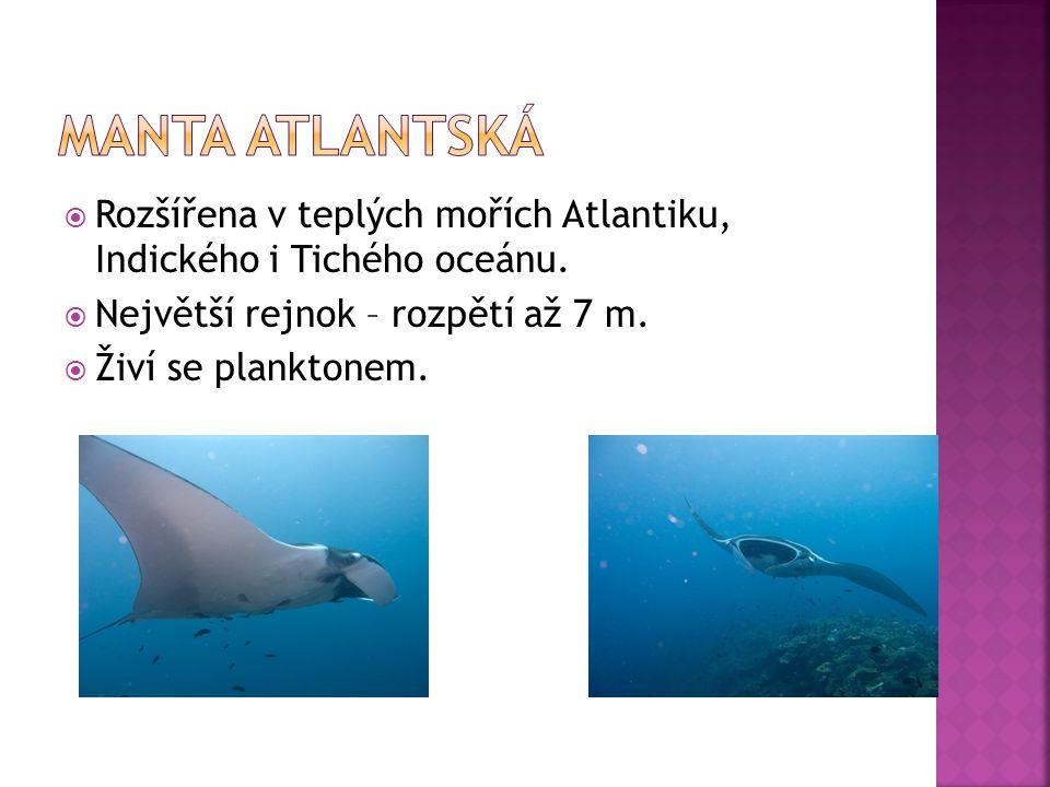 Manta atlantská Rozšířena v teplých mořích Atlantiku, Indického i Tichého oceánu. Největší rejnok – rozpětí až 7 m.