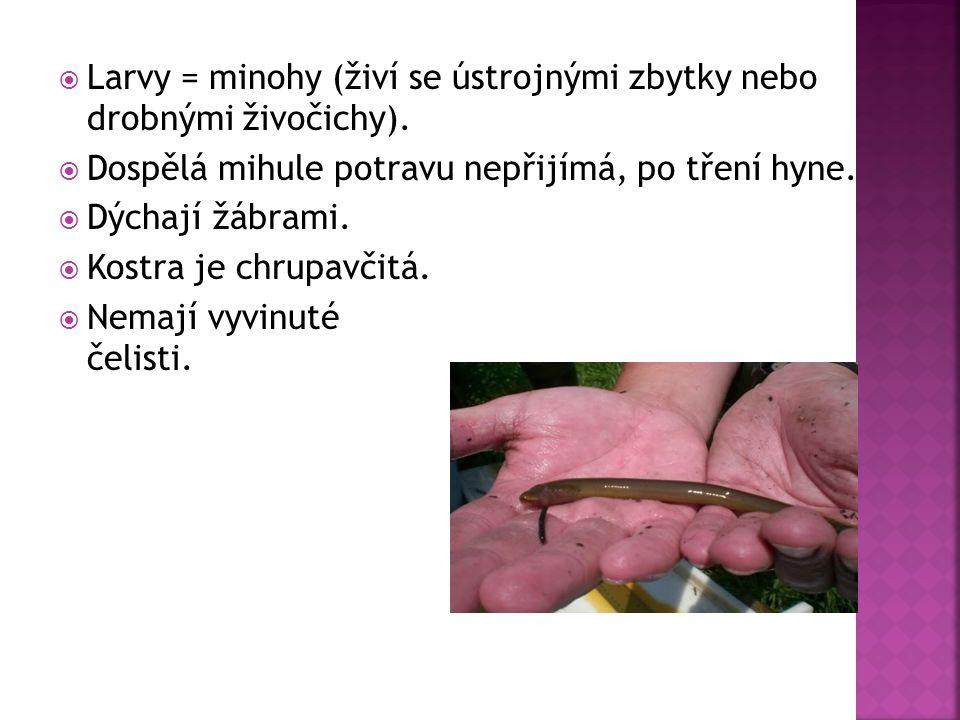 Larvy = minohy (živí se ústrojnými zbytky nebo drobnými živočichy).
