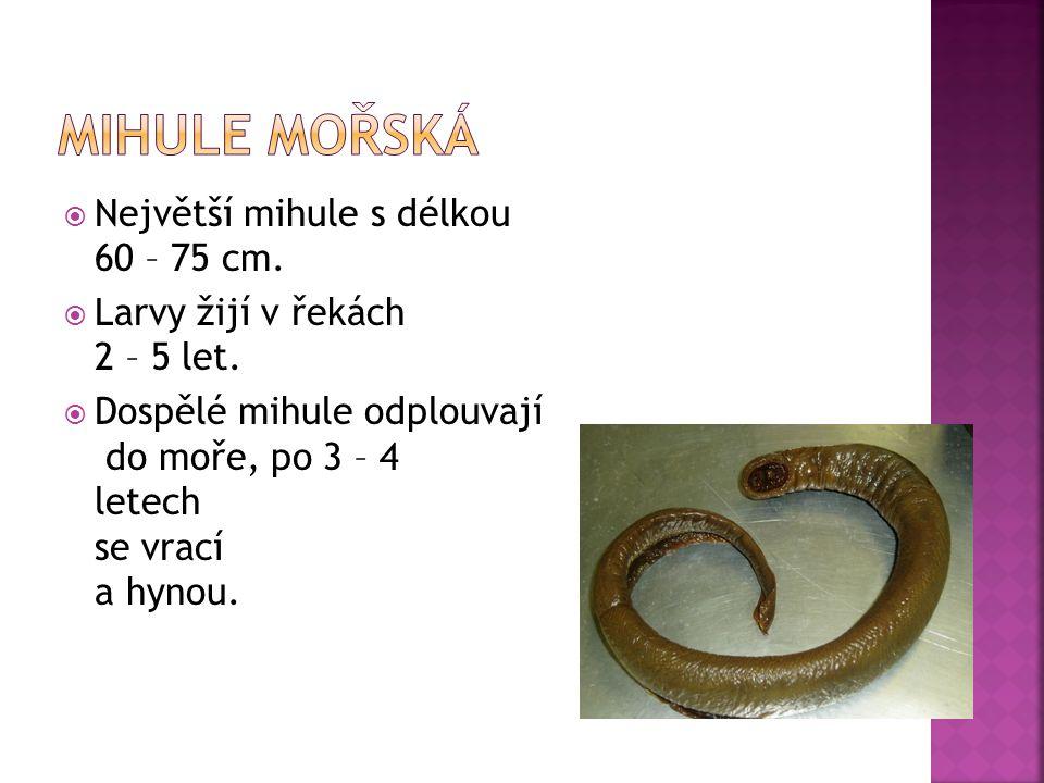Mihule mořská Největší mihule s délkou 60 – 75 cm.