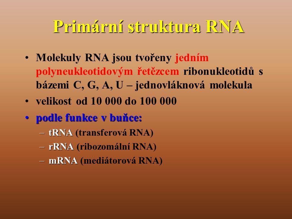Primární struktura RNA