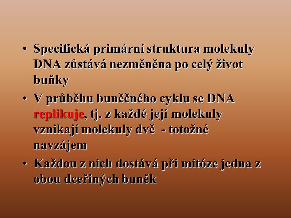 Specifická primární struktura molekuly DNA zůstává nezměněna po celý život buňky