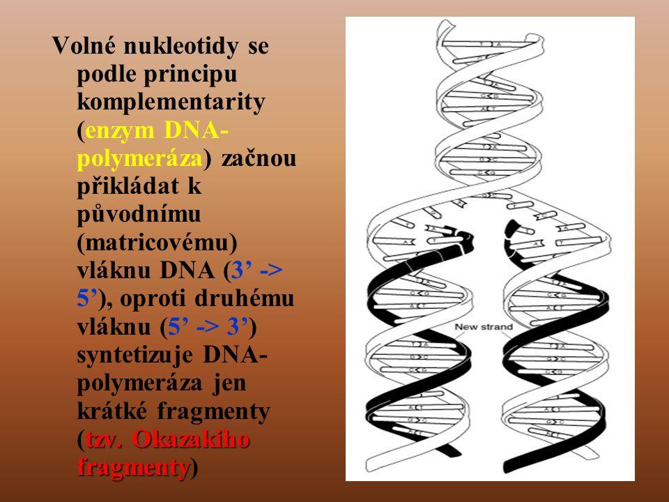 Volné nukleotidy se podle principu komplementarity (enzym DNA-polymeráza) začnou přikládat k původnímu (matricovému) vláknu DNA (3' -> 5'), oproti druhému vláknu (5' -> 3') syntetizuje DNA-polymeráza jen krátké fragmenty (tzv.