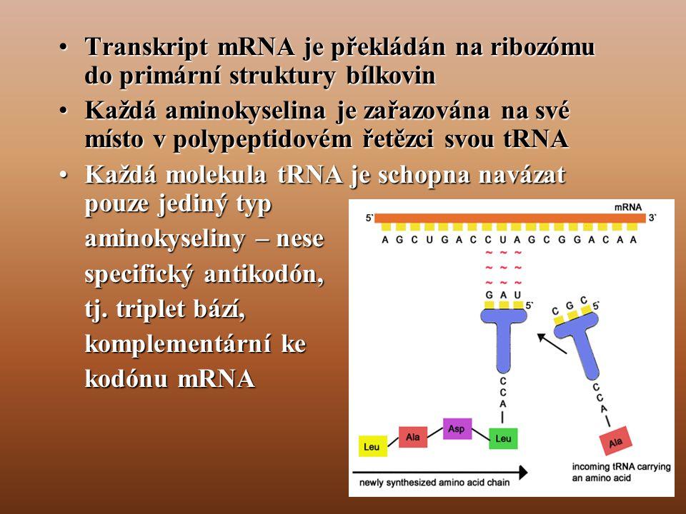Transkript mRNA je překládán na ribozómu do primární struktury bílkovin