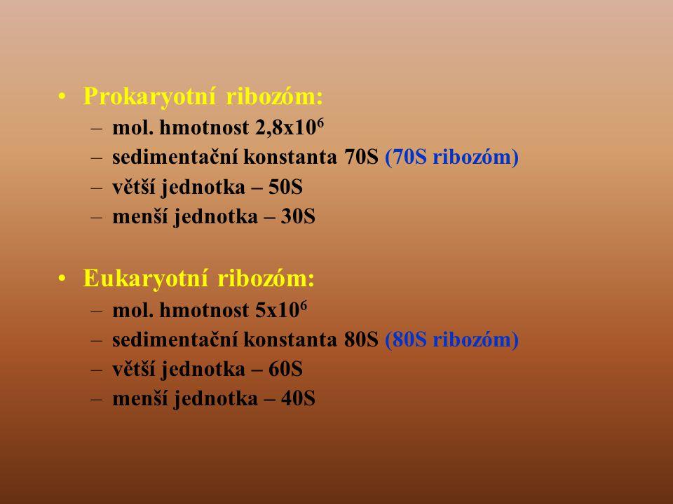 Prokaryotní ribozóm: Eukaryotní ribozóm: mol. hmotnost 2,8x106