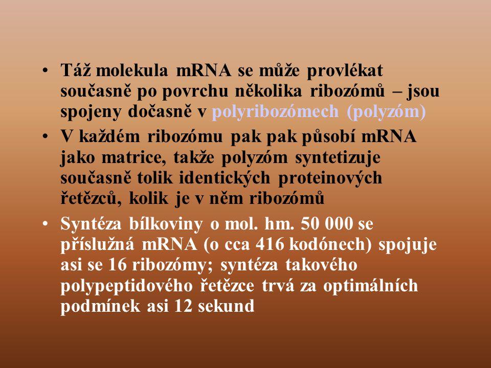 Táž molekula mRNA se může provlékat současně po povrchu několika ribozómů – jsou spojeny dočasně v polyribozómech (polyzóm)