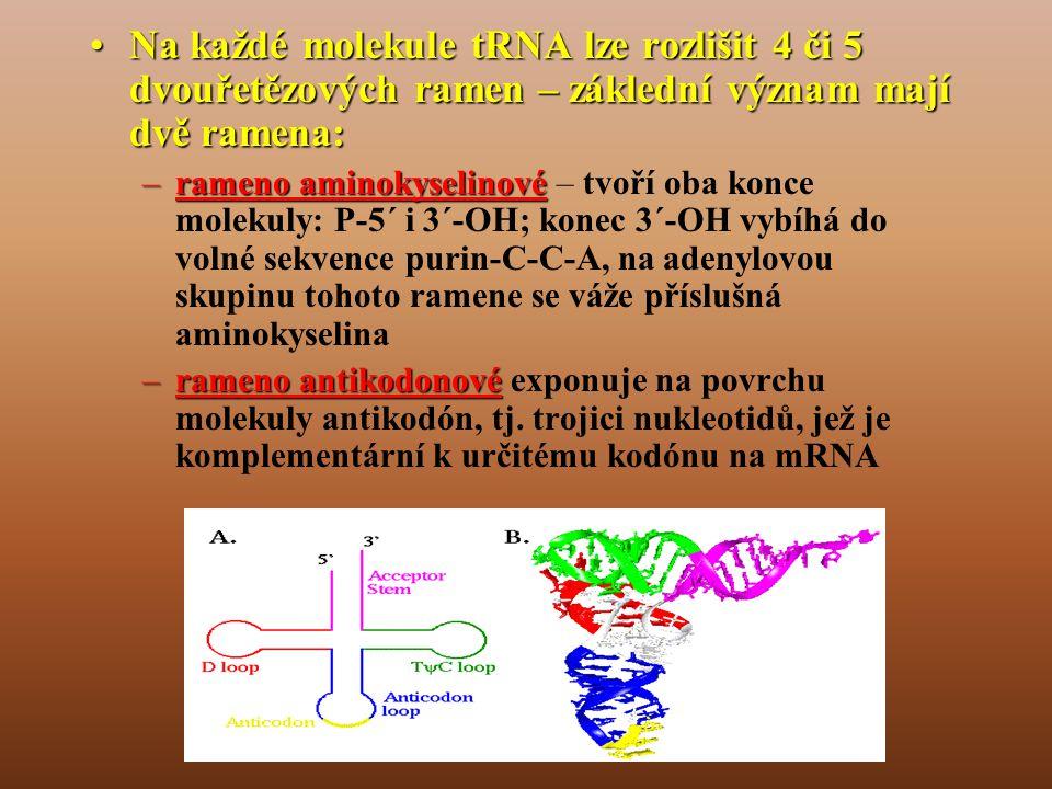 Na každé molekule tRNA lze rozlišit 4 či 5 dvouřetězových ramen – záklední význam mají dvě ramena: