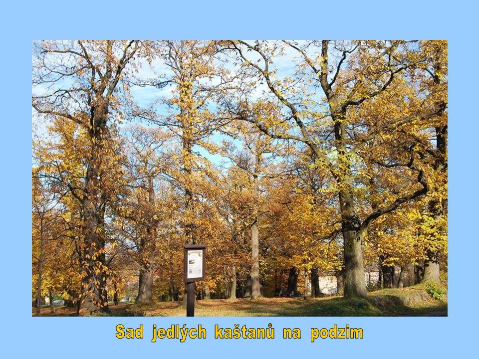 Sad jedlých kaštanů na podzim