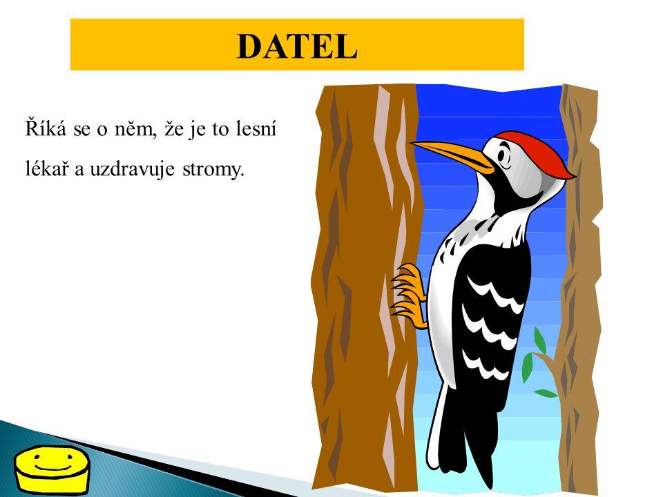 DATEL Říká se o něm, že je to lesní lékař a uzdravuje stromy.