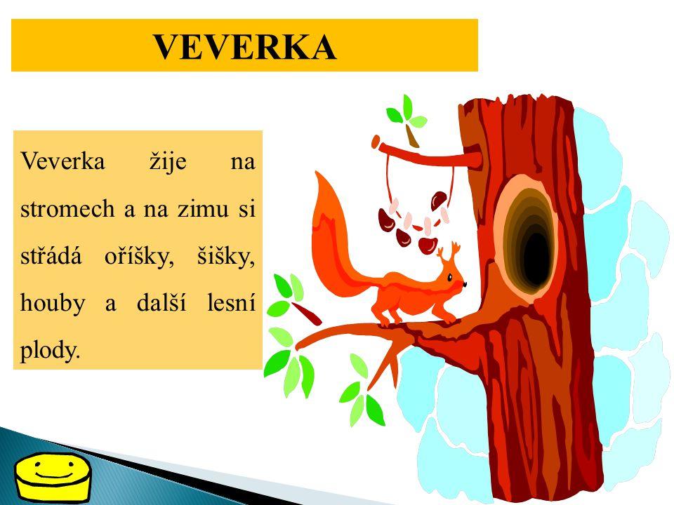 VEVERKA Veverka žije na stromech a na zimu si střádá oříšky, šišky, houby a další lesní plody.