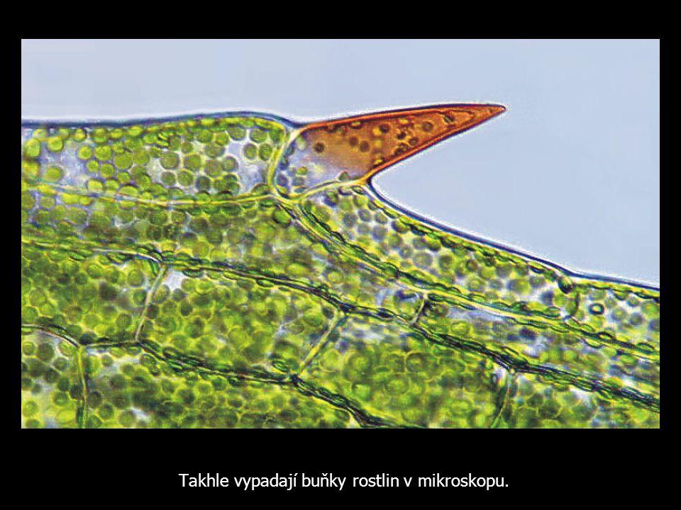 Takhle vypadají buňky rostlin v mikroskopu.