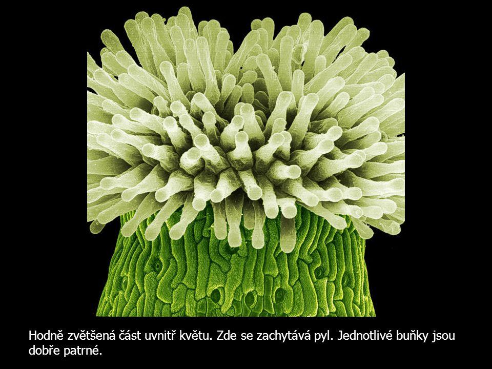Hodně zvětšená část uvnitř květu. Zde se zachytává pyl