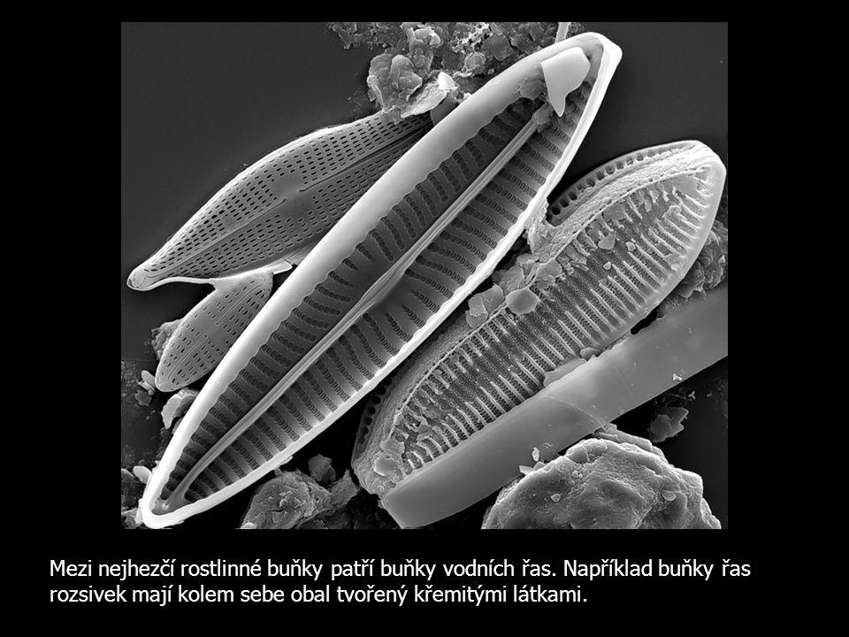 Mezi nejhezčí rostlinné buňky patří buňky vodních řas
