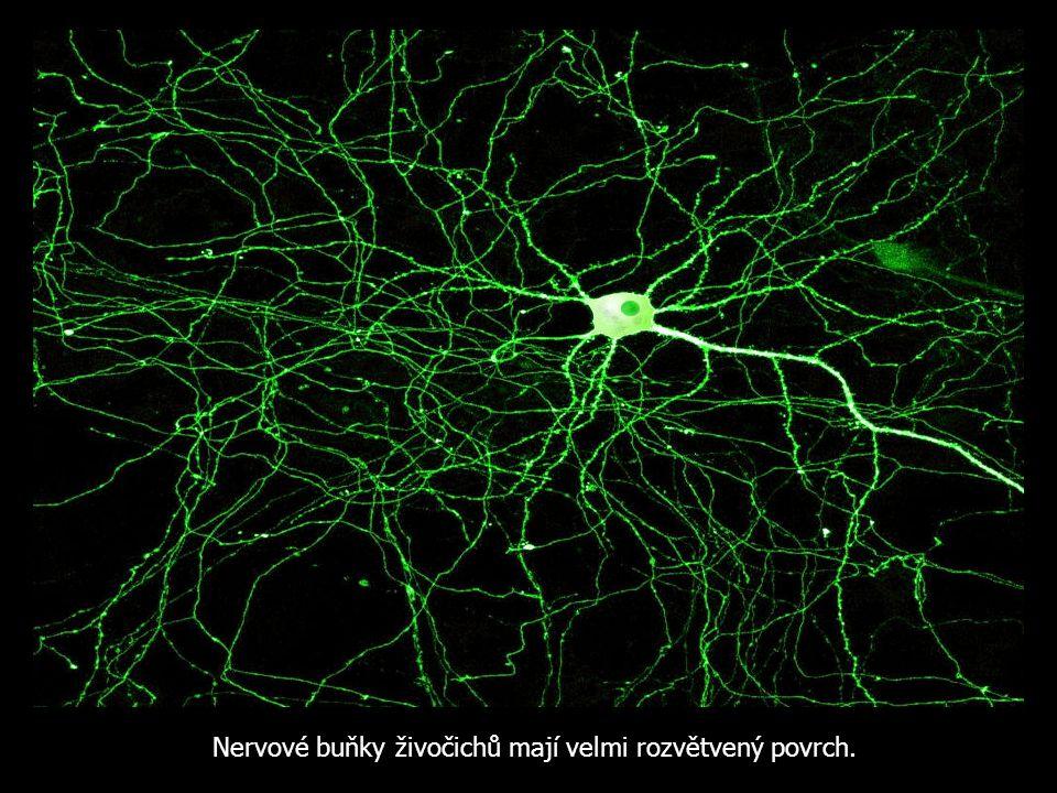 Nervové buňky živočichů mají velmi rozvětvený povrch.
