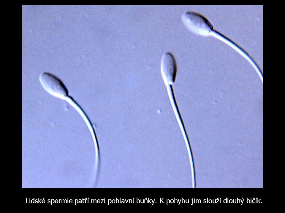 Lidské spermie patří mezi pohlavní buňky
