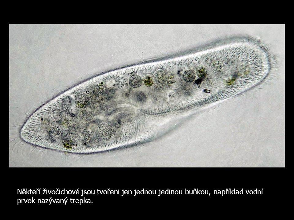 Někteří živočichové jsou tvořeni jen jednou jedinou buňkou, například vodní prvok nazývaný trepka.