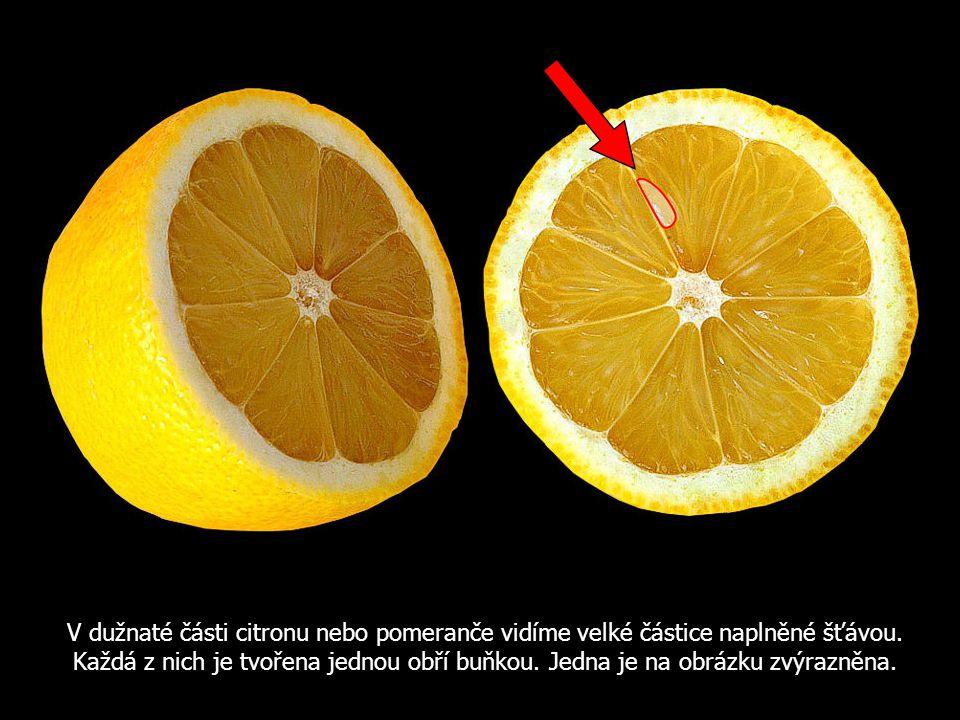 V dužnaté části citronu nebo pomeranče vidíme velké částice naplněné šťávou.