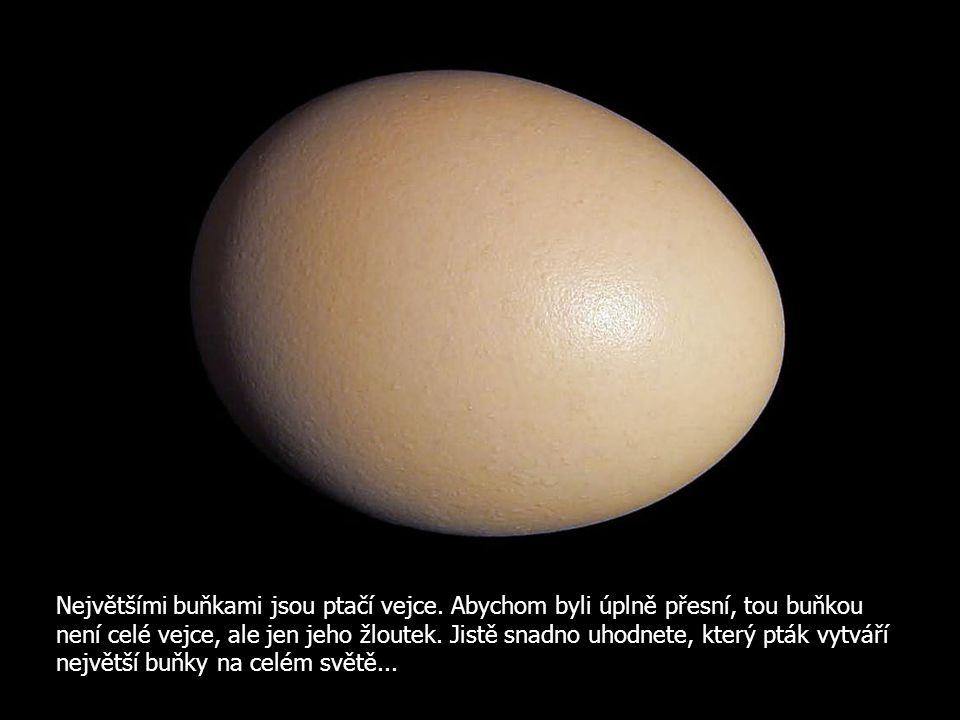 Největšími buňkami jsou ptačí vejce