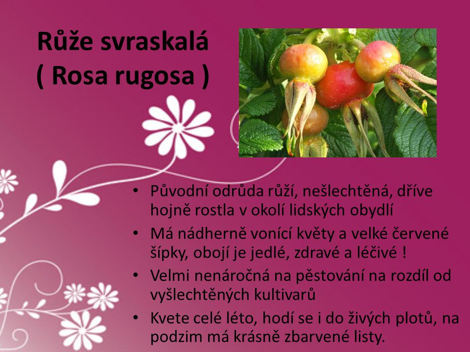 Růže svraskalá ( Rosa rugosa )