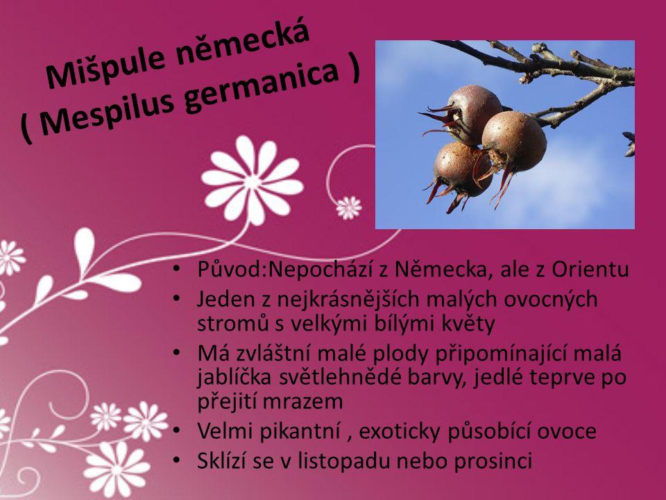 Mišpule německá ( Mespilus germanica )