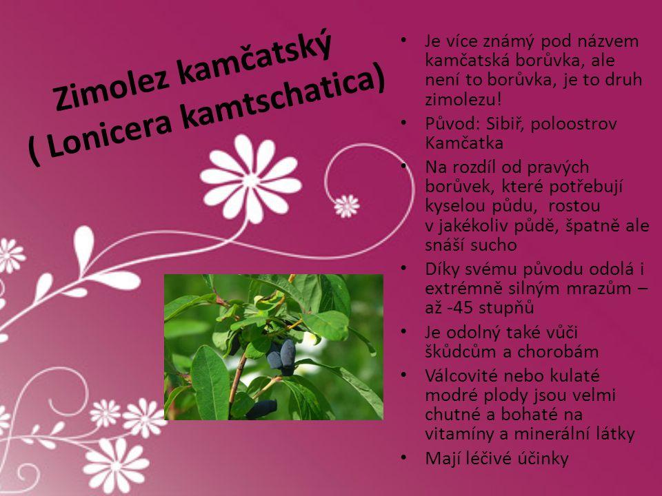 Zimolez kamčatský ( Lonicera kamtschatica)