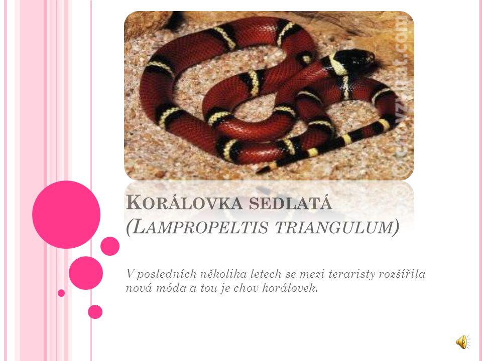 Korálovka sedlatá (Lampropeltis triangulum)