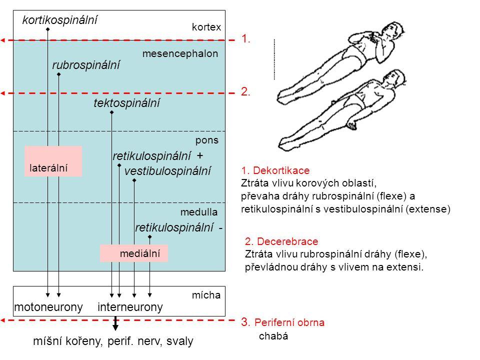 míšní kořeny, perif. nerv, svaly