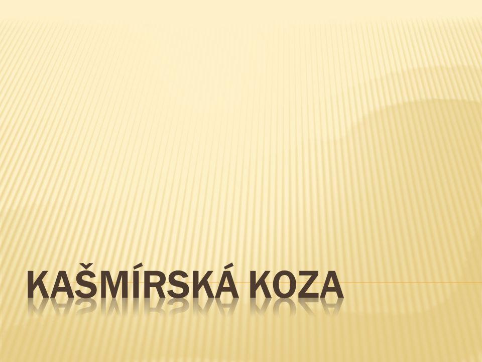 KAŠMÍRSKÁ KOZA