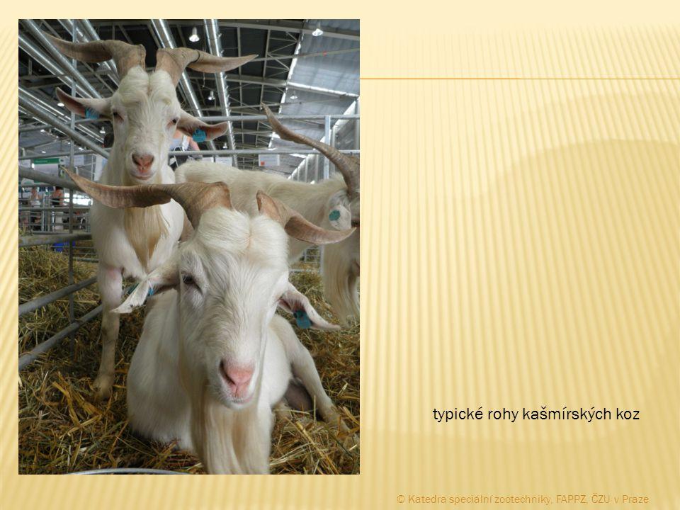 typické rohy kašmírských koz