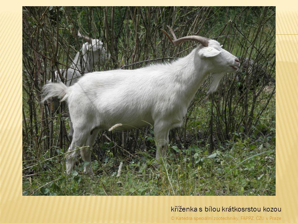 kříženka s bílou krátkosrstou kozou