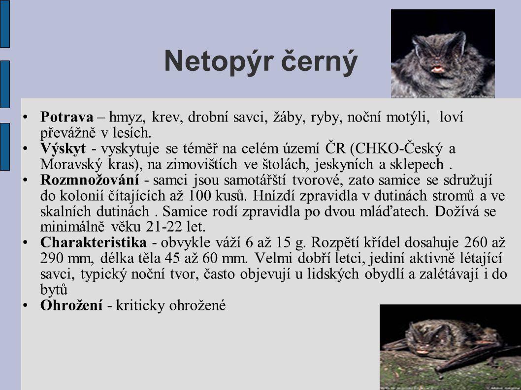Netopýr černý Potrava – hmyz, krev, drobní savci, žáby, ryby, noční motýli, loví převážně v lesích.