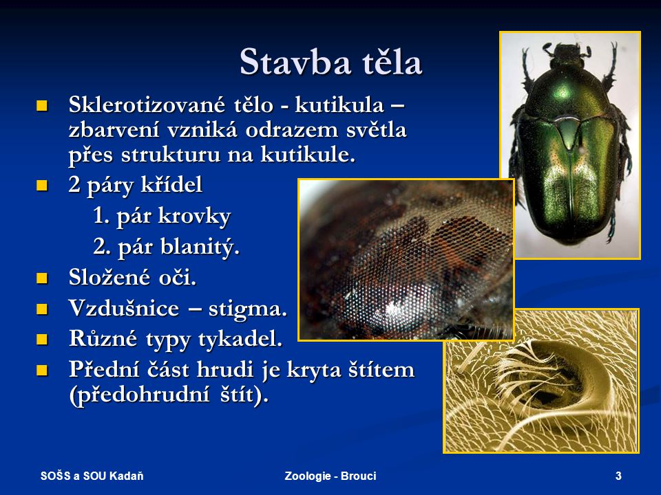 Stavba těla Sklerotizované tělo - kutikula – zbarvení vzniká odrazem světla přes strukturu na kutikule.