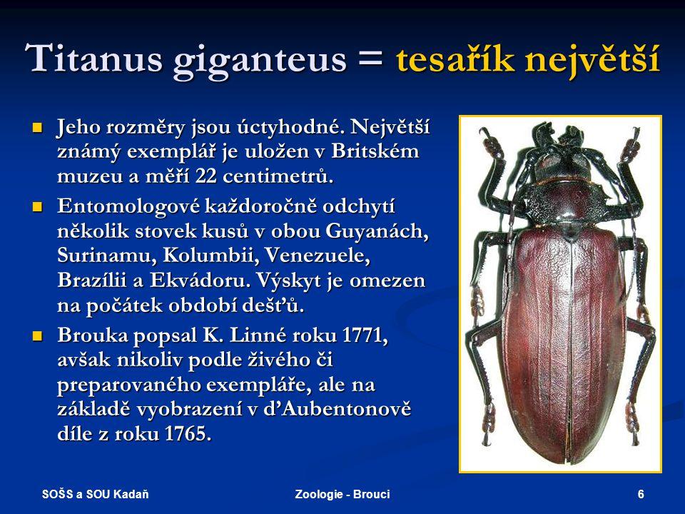 Titanus giganteus = tesařík největší