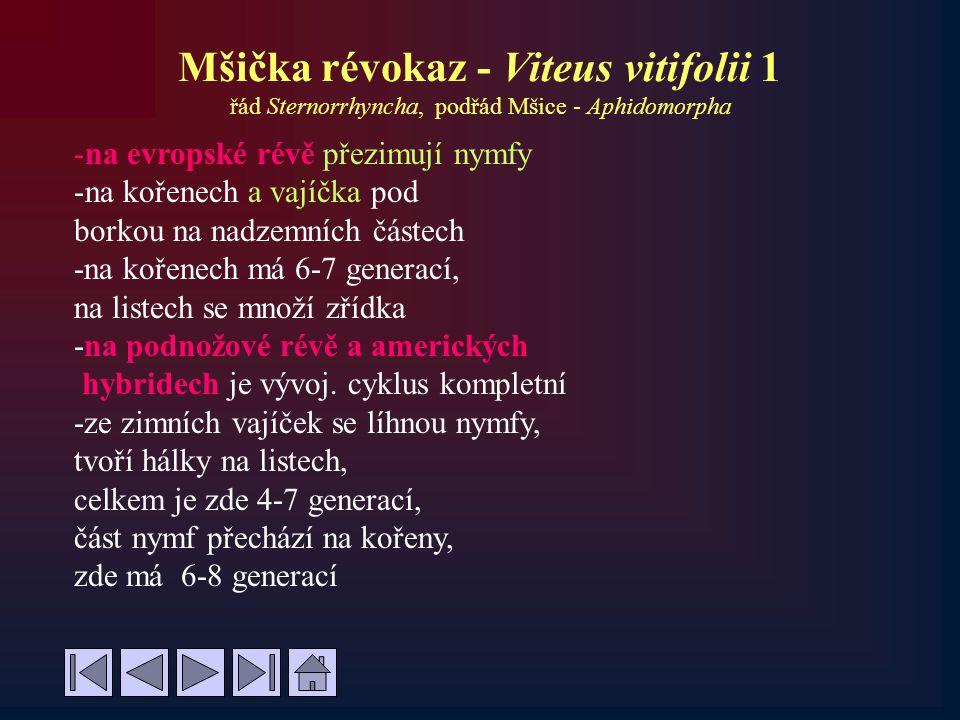 Mšička révokaz - Viteus vitifolii 1 řád Sternorrhyncha, podřád Mšice - Aphidomorpha