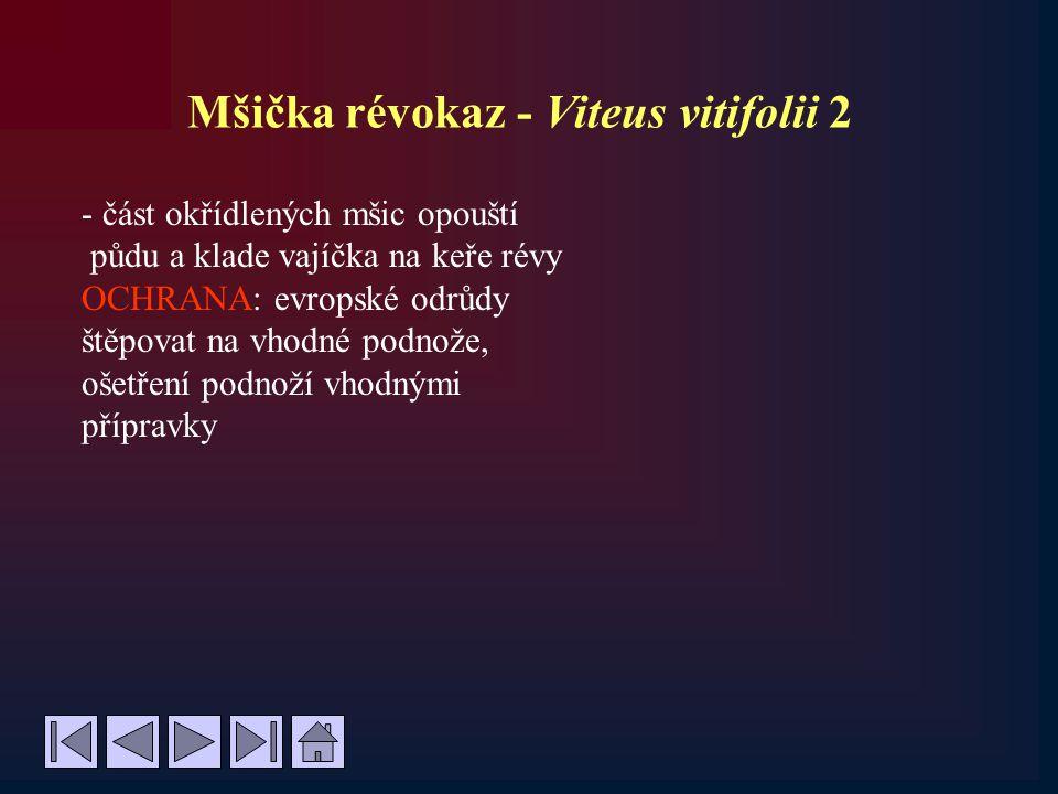 Mšička révokaz - Viteus vitifolii 2