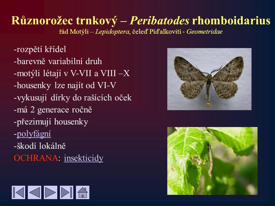 Různorožec trnkový – Peribatodes rhomboidarius řád Motýli – Lepidoptera, čeleď Píďalkovití - Geometridae