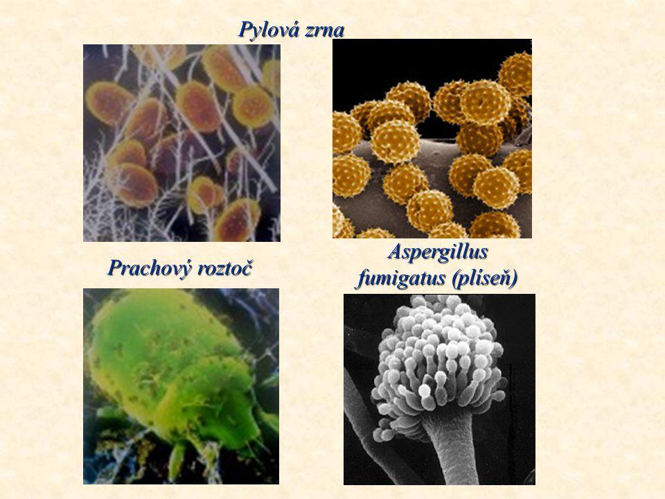 Aspergillus fumigatus (plíseň)
