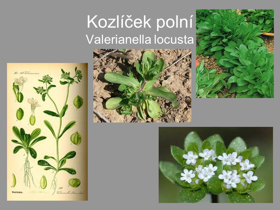 Kozlíček polní Valerianella locusta