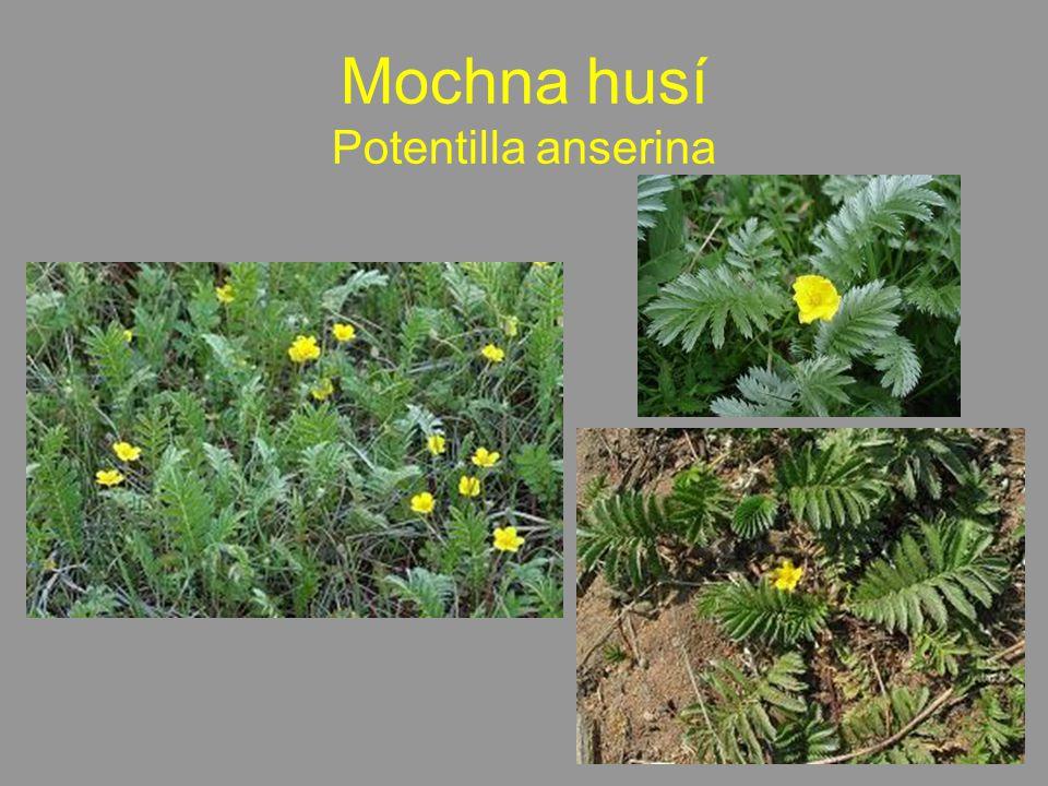 Mochna husí Potentilla anserina