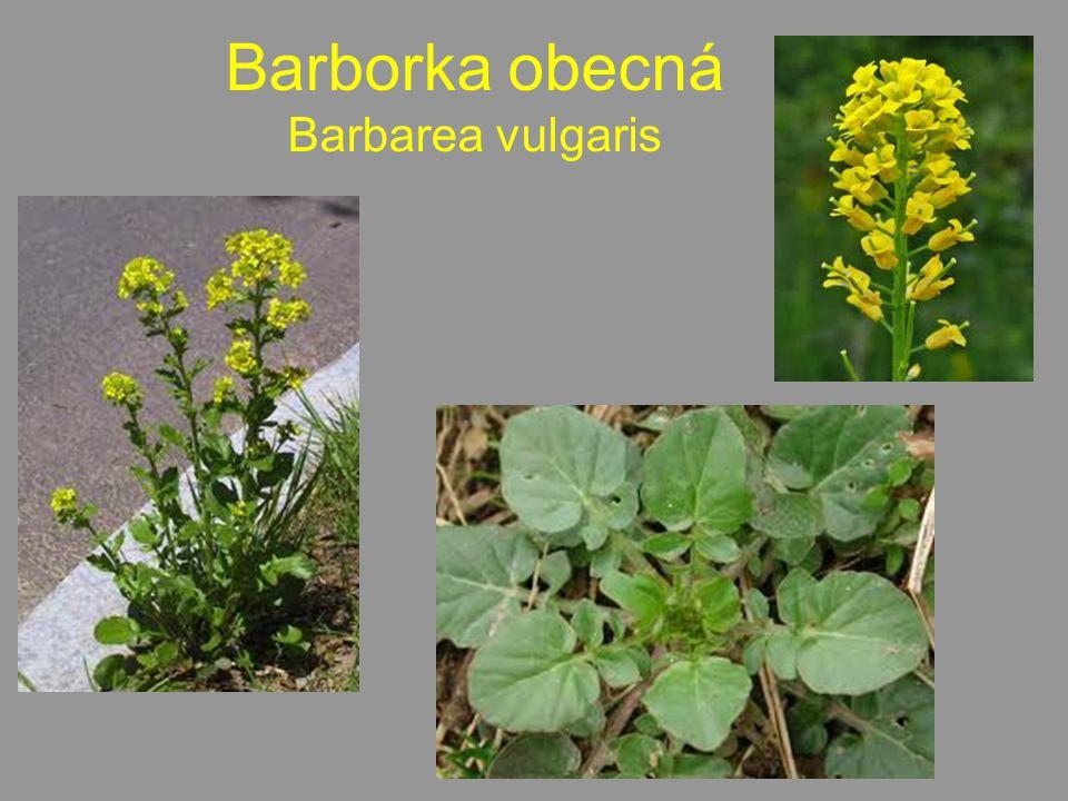 Barborka obecná Barbarea vulgaris