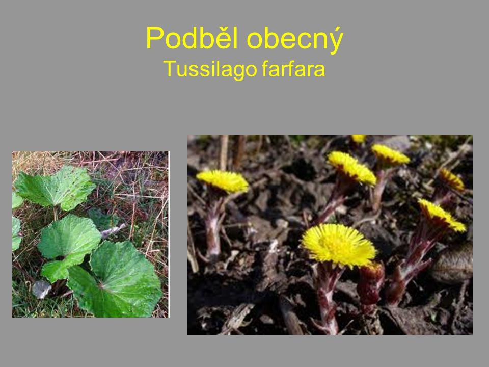 Podběl obecný Tussilago farfara