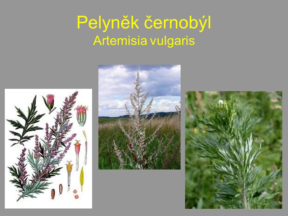 Pelyněk černobýl Artemisia vulgaris