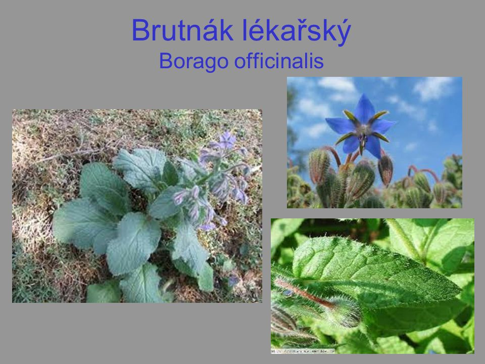 Brutnák lékařský Borago officinalis