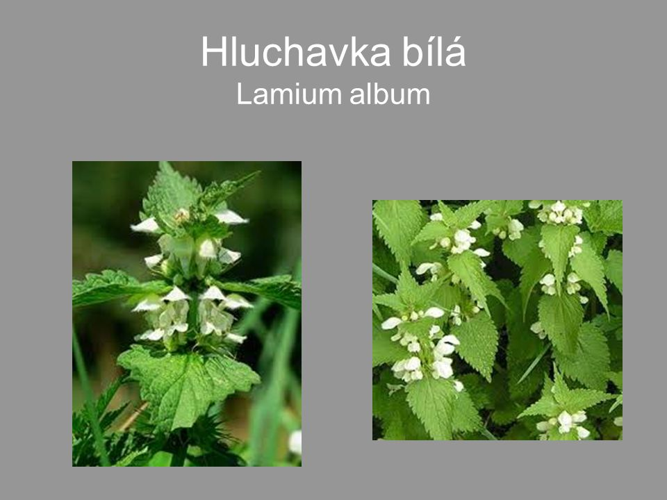 Hluchavka bílá Lamium album
